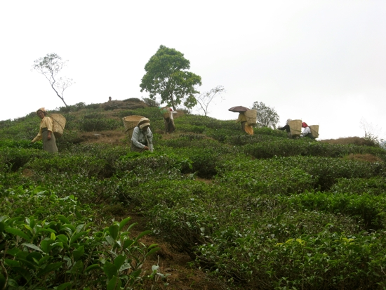 Tea pickers on estate