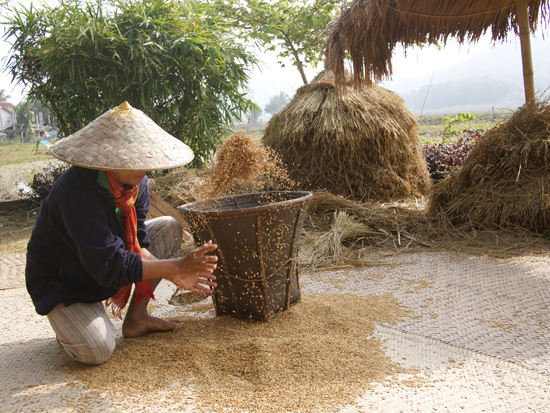 Laut Lee throws rice into a basket before moving for storage