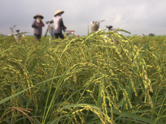 Farmers readying to go home by bicycle after harvesting young green rice