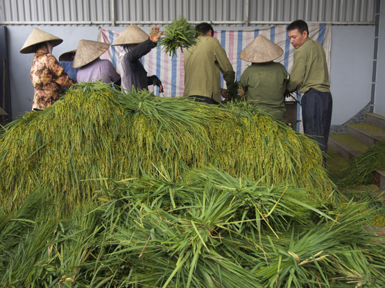 Teamwork: Threshing young green rice after the harvest