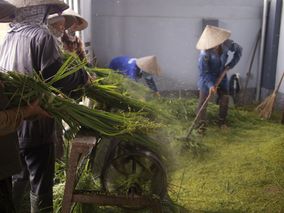 Rice stalks being mechanically threshed by farmers after harvest