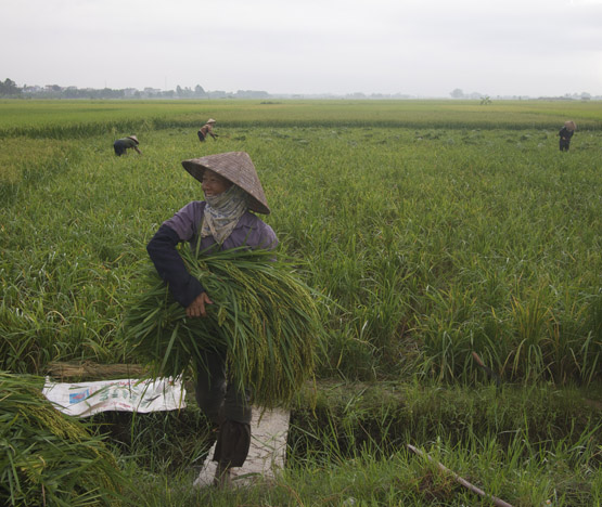 A farmer carries young green rice stalks in the fields outside of Hanoi