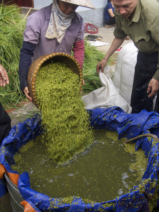 Washing young green rice