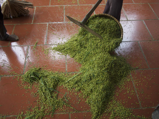 Sweeping up the threshed young green rice