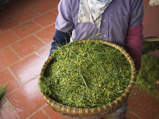 A woman carries a basket of young green rice kernels
