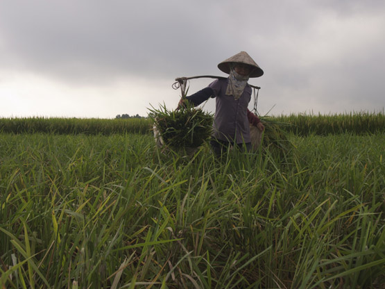 Cut rice stalks are carried using a carrying pole