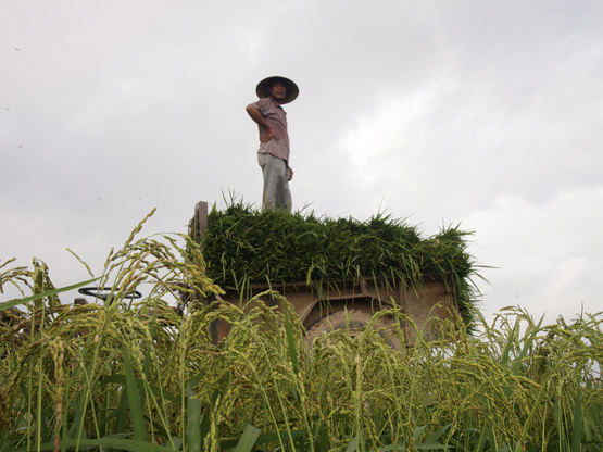 Checking out the rest of work to be done while standing on a pile of rice stalks stacked in a tractor