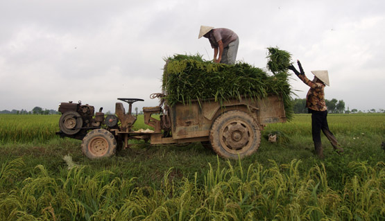 Loading rice stalks on a tractor