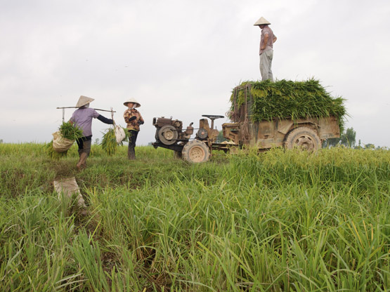 Moving cut rice stalks from the field to tractor